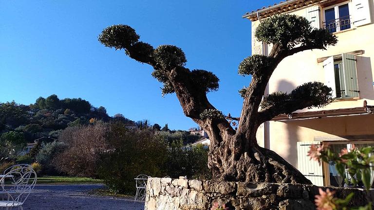 Olivier nuage dans l'entrée de l'Escale Provençale